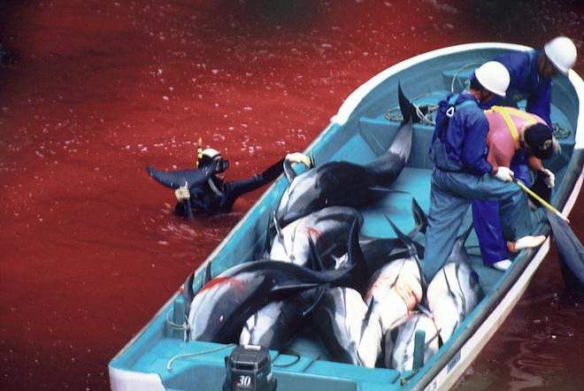 Dolphin slaughter in Taiji, Japan.
